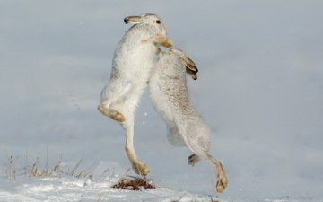 nature, rabbits, defensive, mountain hare