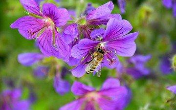 цветы, природа, насекомое, пчела, robin hamann
