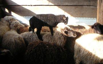 деревня, овцы, ягнёнок, бараны