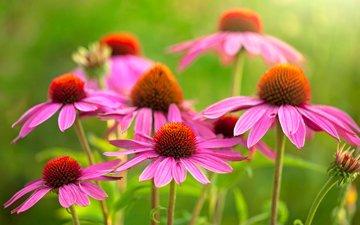 цветы, зелень, макро, розовая, боке, крупным планом, эхинацея
