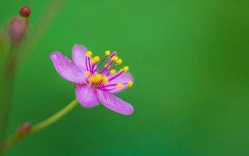 природа, цветок, лепестки, растение