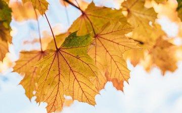 листья, осень, клен, желтые