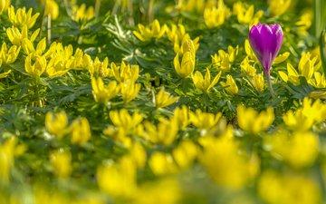 весна, крокус, боке, весенник зимующий