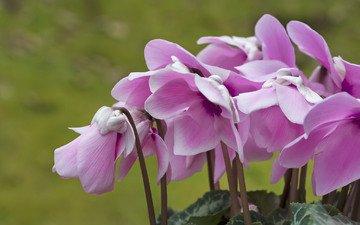 цветы, макро, розовый, цикламен