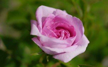 цветок, роза, розовый
