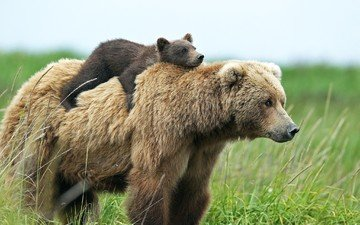 grass, nature, animals, the situation, bear, bears, cub, on the back