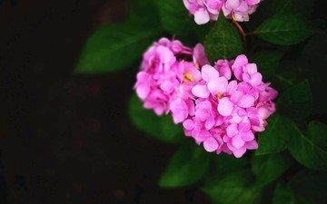 цветы, лепестки, розовые