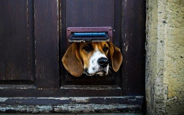 face, the situation, dog, animal, ears, nose, door