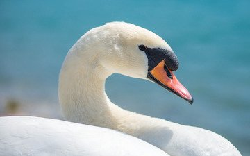 фон, птица, клюв, лебедь