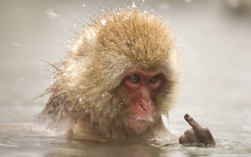 face, water, the situation, fingers, bathing, monkey, middle finger, japanese macaques