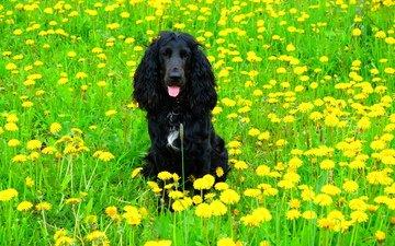 цветы, поле, собака, одуванчики, спаниель, кокер-спаниель, черная собака