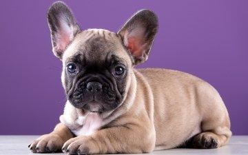 щенок, порода, милый, французский бульдог