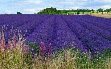 цветы, пейзаж, поле, лаванда, фиолетовые