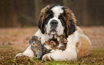 природа, шерсть, собака, пушистые, котята, друзья, сенбернар, питомцы