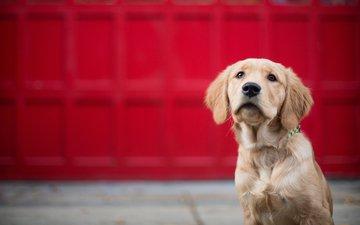 глаза, взгляд, собака, золотистый ретривер, голден ретривер