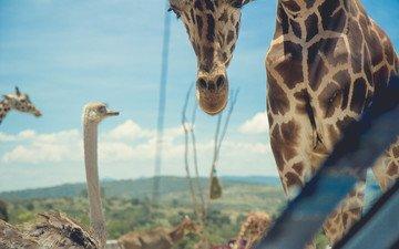 природа, жираф, страус