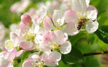 цветение, макро, весна, яблоня, пчела