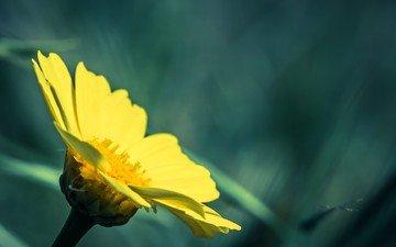 природа, желтый, макро, цветок, растение