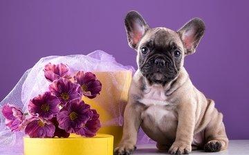 flowers, puppy, bouquet, doggie, bulldog, french bulldog, french