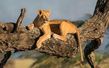 дерево, хищник, львица
