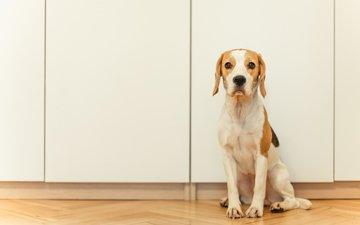 собака, щенок, бигль, домашнее животное, бигь