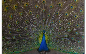 птица, павлин, расцветка, животно е, перья павлина, зоо