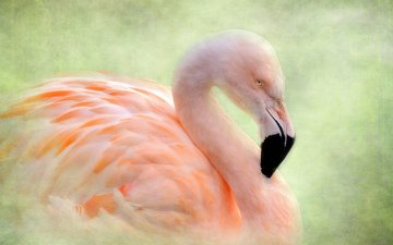 фон, фламинго, птица