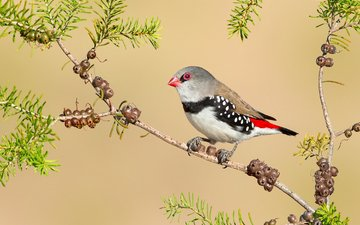 branch, nature, paint, bird, beak, feathers, tail, diamond finches