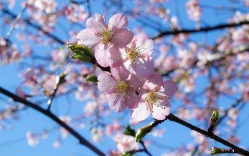 небо, ветка, цветение, весна
