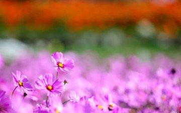 цветы, природа, космея, космеи
