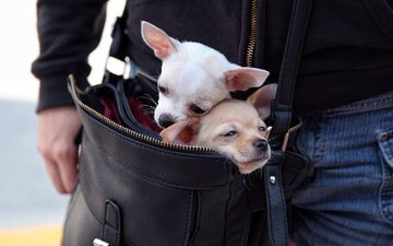a couple, dogs, bag, chihuahua, faces, moving