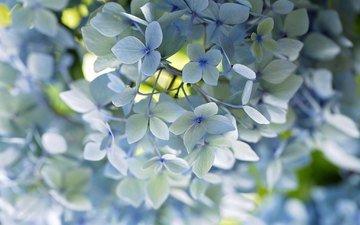 макро, голубой, нежность, гортензия