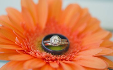 цветок, кольцо, гербера, обручальное