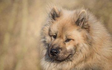 морда, взгляд, собака, евразиер