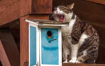 кот, кошка, скворечник, зевает, ожидание, зевок