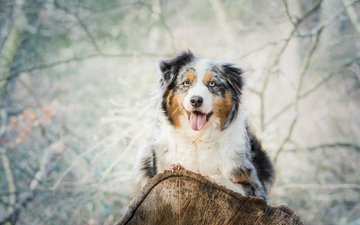 look, dog, language, log, australian shepherd, aussie