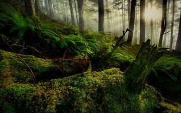 деревья, природа, лес, зелёный, пейзаж, мох, холм, восход солнца, солнечные лучи, папоротники