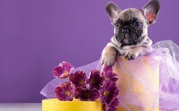 цветы, щенок, французский бульдог