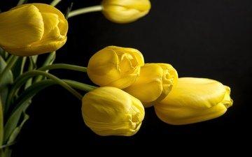 цветы, черный фон, тюльпаны, жёлтая, желтые, цветком, ницца