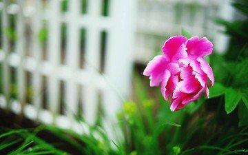 цветок, лепестки, пион