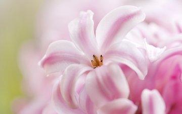 макро, розовый, гиацинт