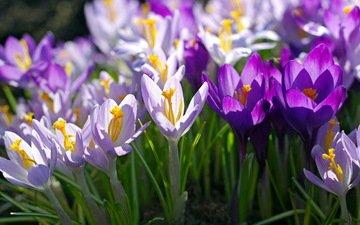 макро, фиолетовый, весна, сиреневый, крокусы