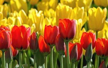 бутоны, красные, тюльпаны, желтые