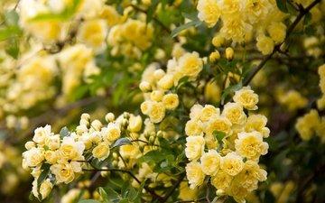 цветение, ветки, шиповник, цветки, роза бэнкс