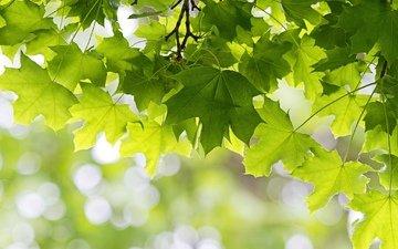 дерево, листья, зелёный, клен