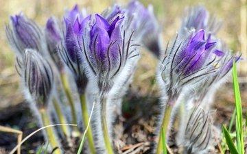 цветы, весна, нежность, анемоны, сон-трава, прострел