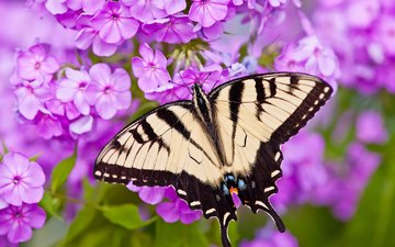 flowers, macro, butterfly, papilio glaucus, phlox