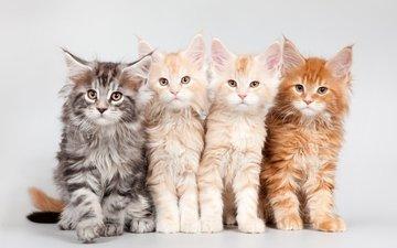 kittens, quartet, maine coon