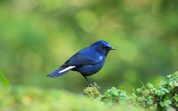 птичка, синяя, кроха