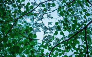 дерево, цветение, ветки, весна, кизил